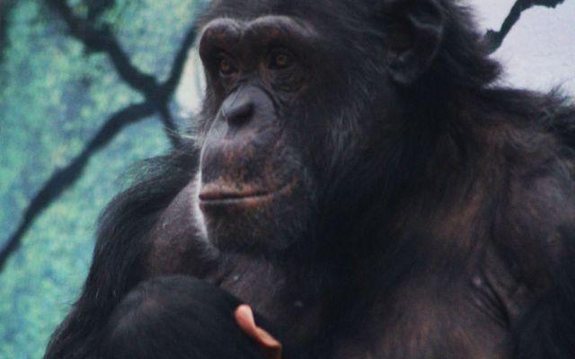 Chimpanzé - L'histoire du ZooParc