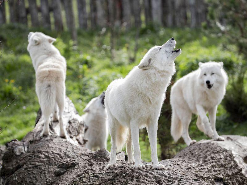 Groupe de loups arctiques - Les animaux du Territoire Nord-Américain - ZooParc de Beauval