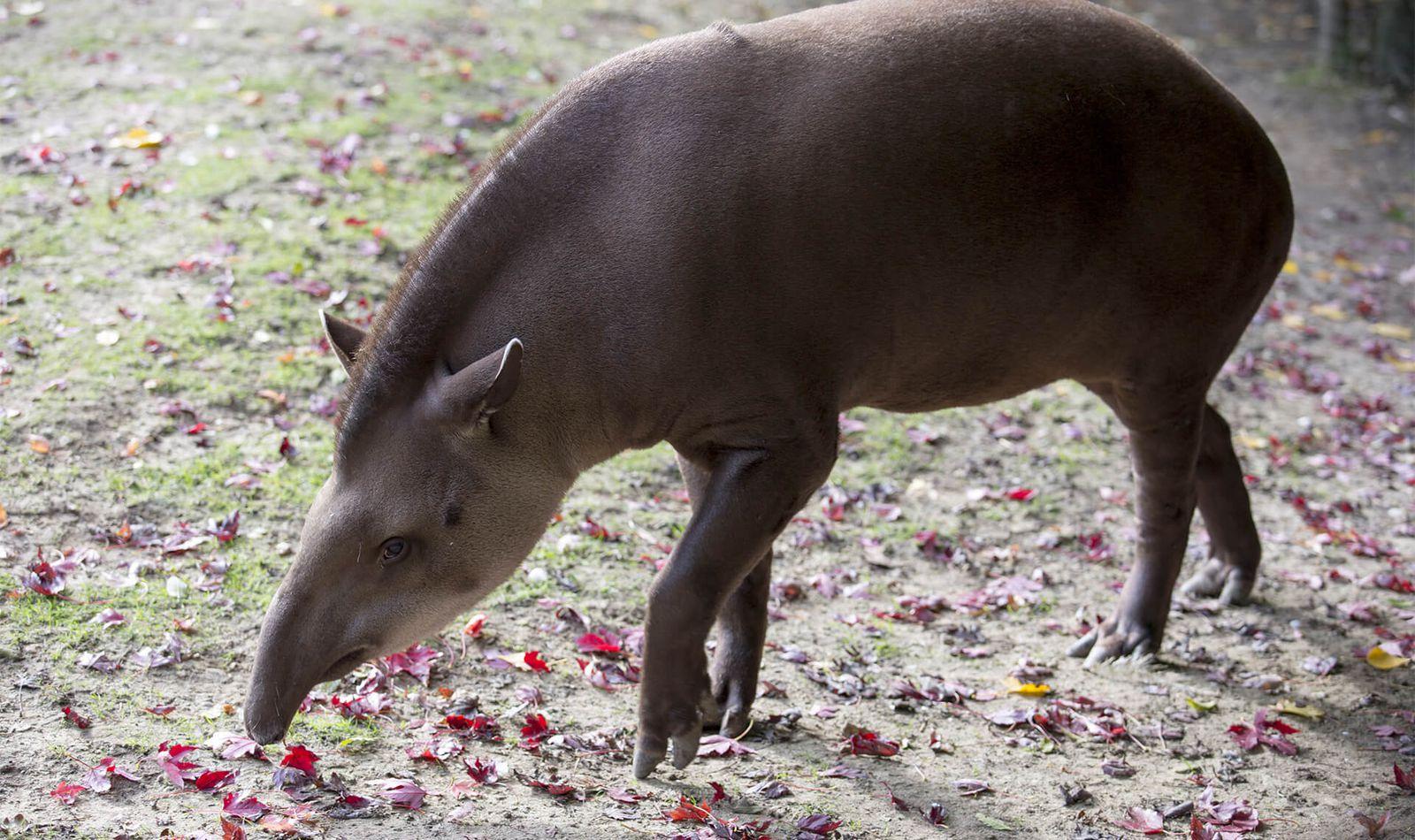 Tapir terrestre - Animaux extraordinaires du ZooParc