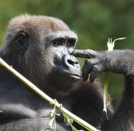 Les gorilles - Animation - Activité du ZooParc de Beauval