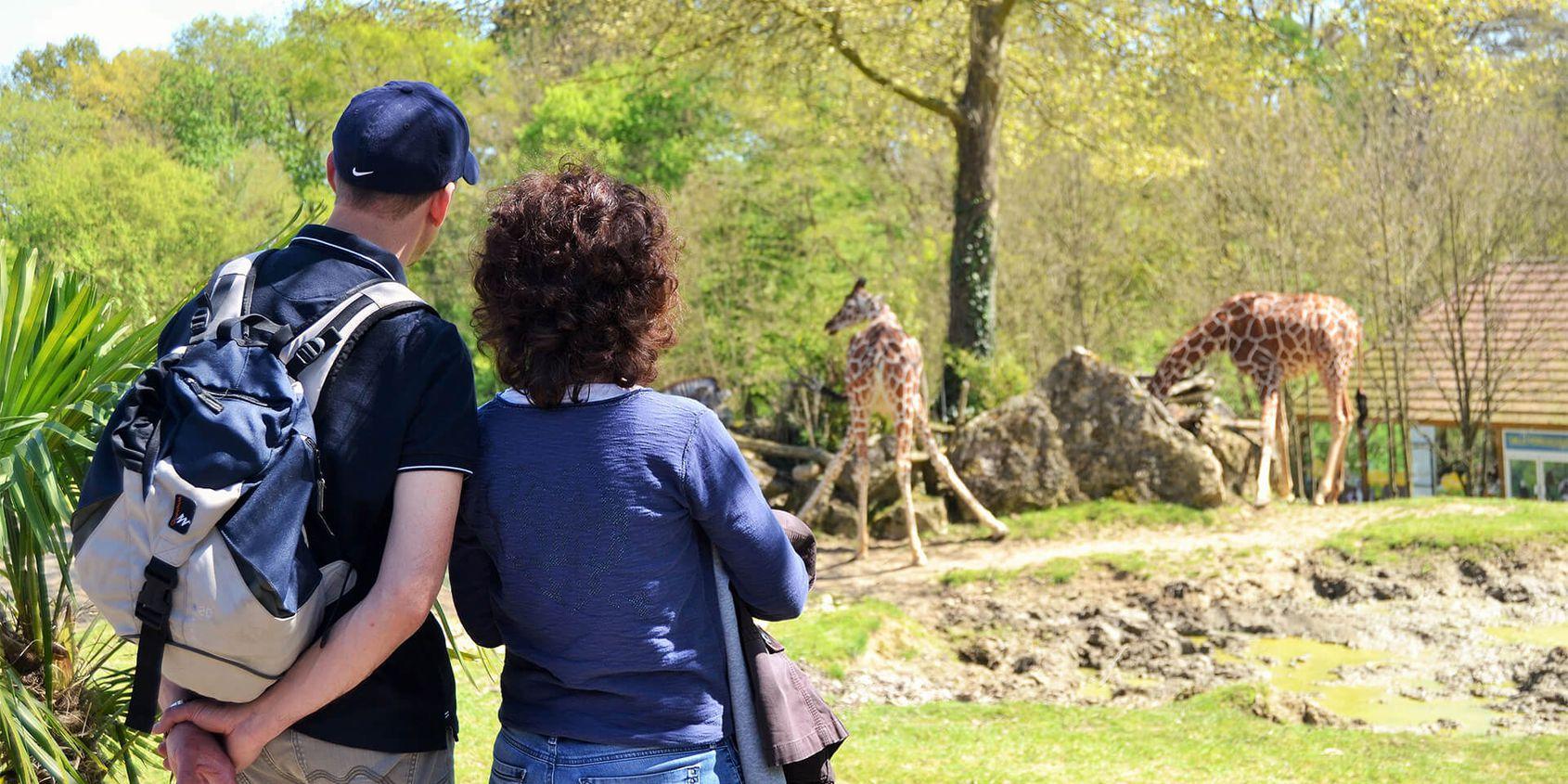 Vue imprenable sur les girafes - Les animaux de La Savane Africaine - ZooParc de Beauval