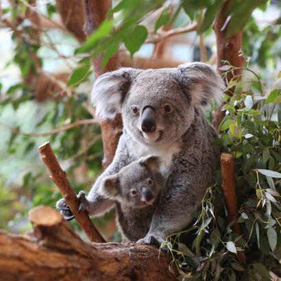 Koala et son bébé - Naissance et carnet rose du ZooParc de Beauval