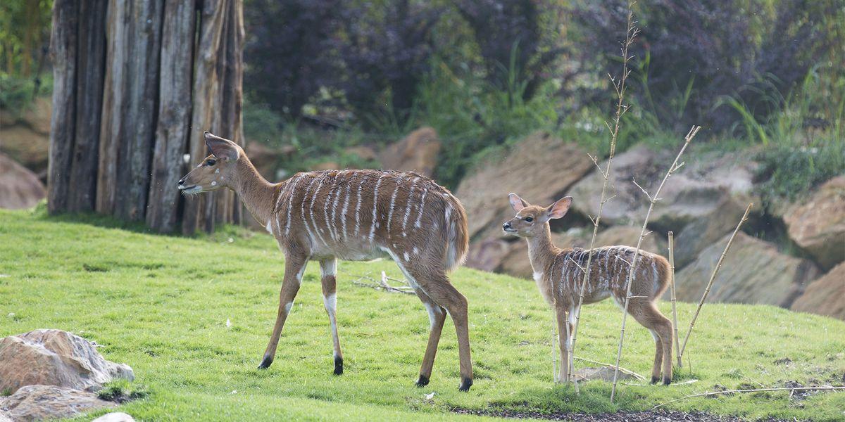 Nyalas - Les animaux de La Réserve des Hippopotames - ZooParc de Beauval
