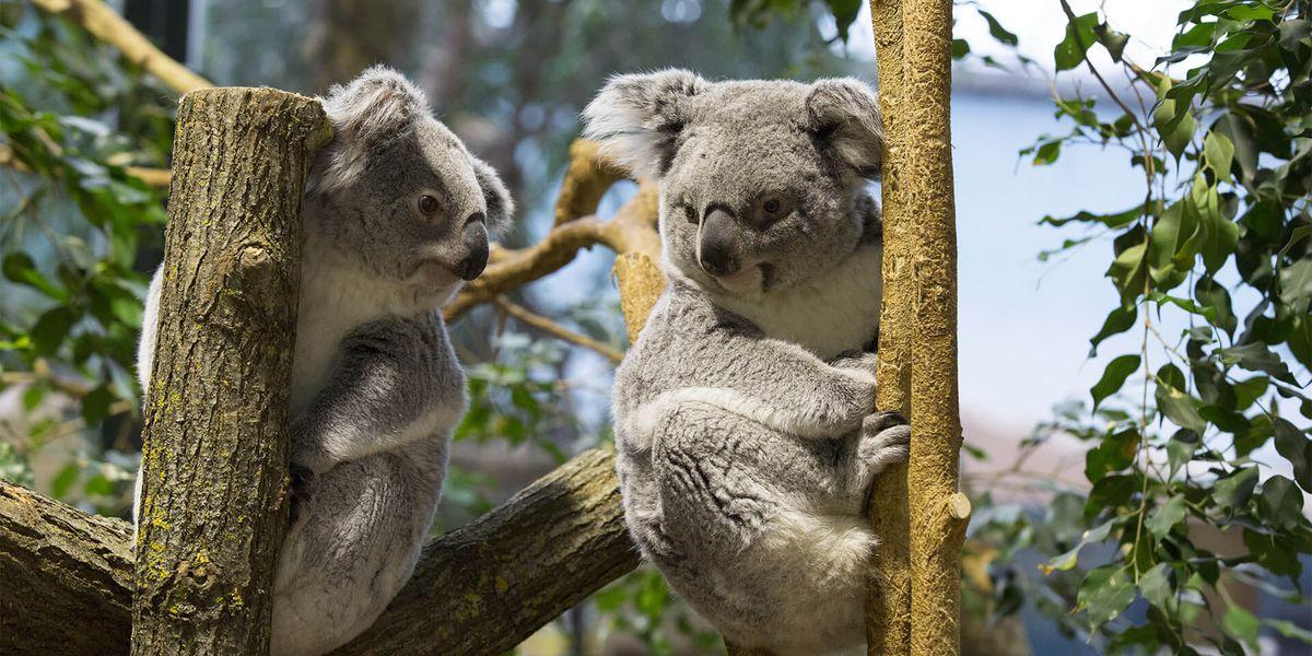 Koalas - Les animaux de La Serre des Koalas - ZooParc de Beauval