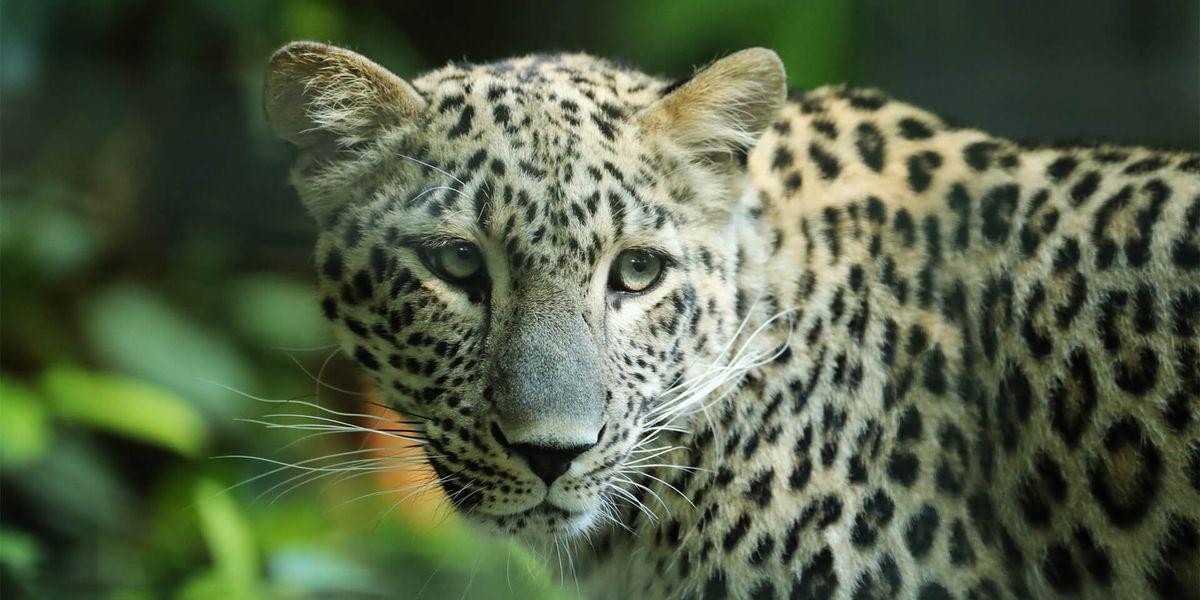 Panthère de Perse - Les animaux du Bois des Fauves - ZooParc de Beauval
