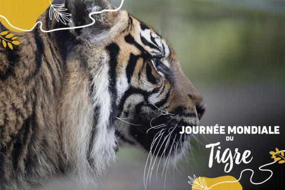 On fête les tigres aujourd'hui dans le monde entier !