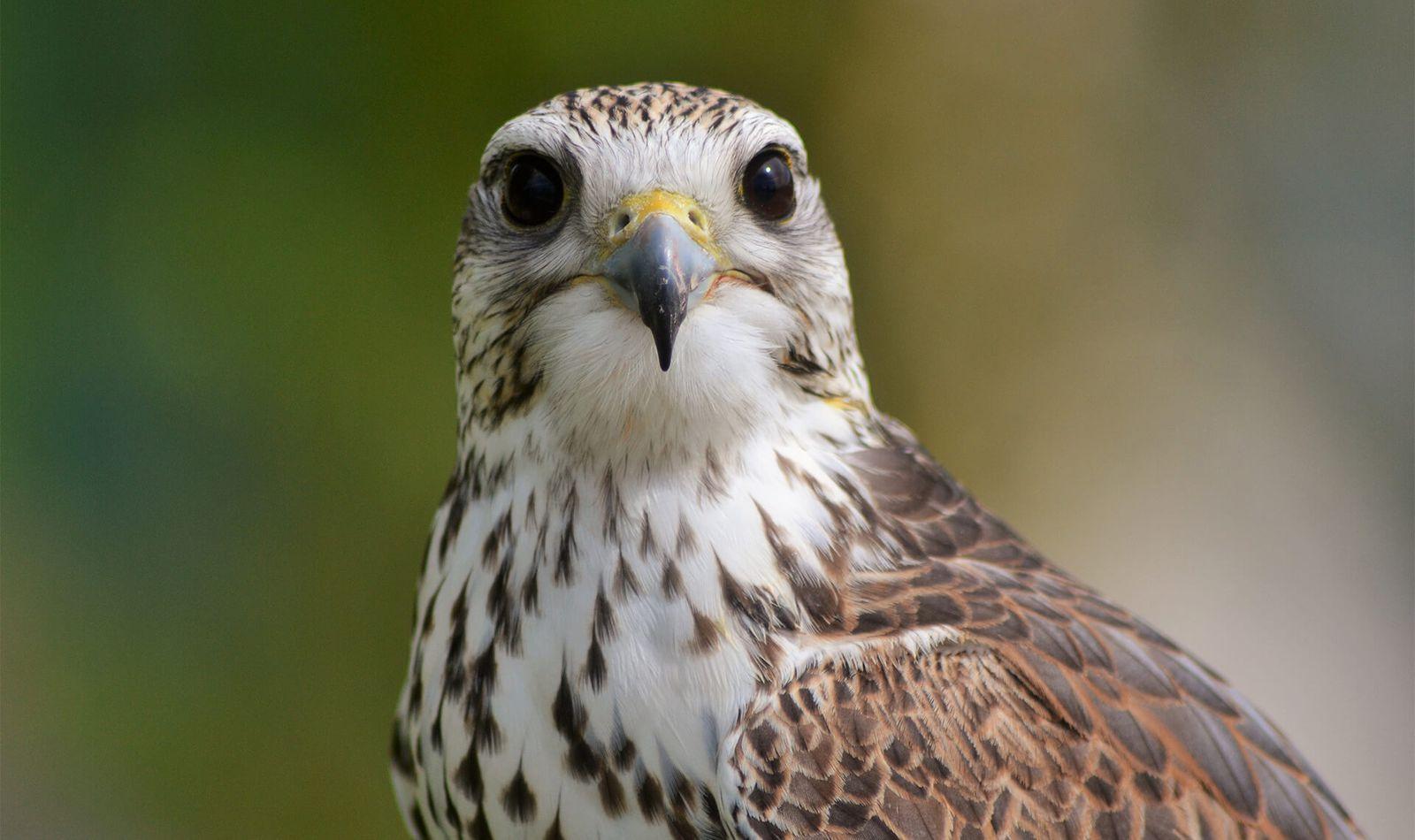Faucon sacré - Contactez-nous - ZooParc de Beauval
