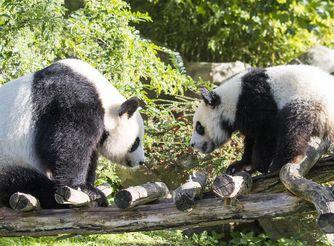 Saga des pandas - Animaux emblématiques du ZooParc de Beauval