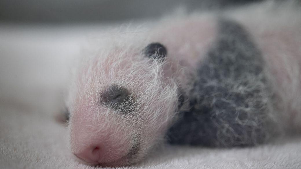 Jumelles panda ont 2 semaines - Bébé panda - ZooParc de Beauval