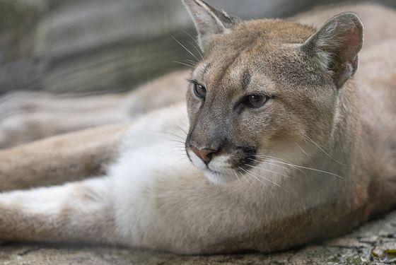 Puma - Les animaux du Bois des Fauves - ZooParc de Beauval