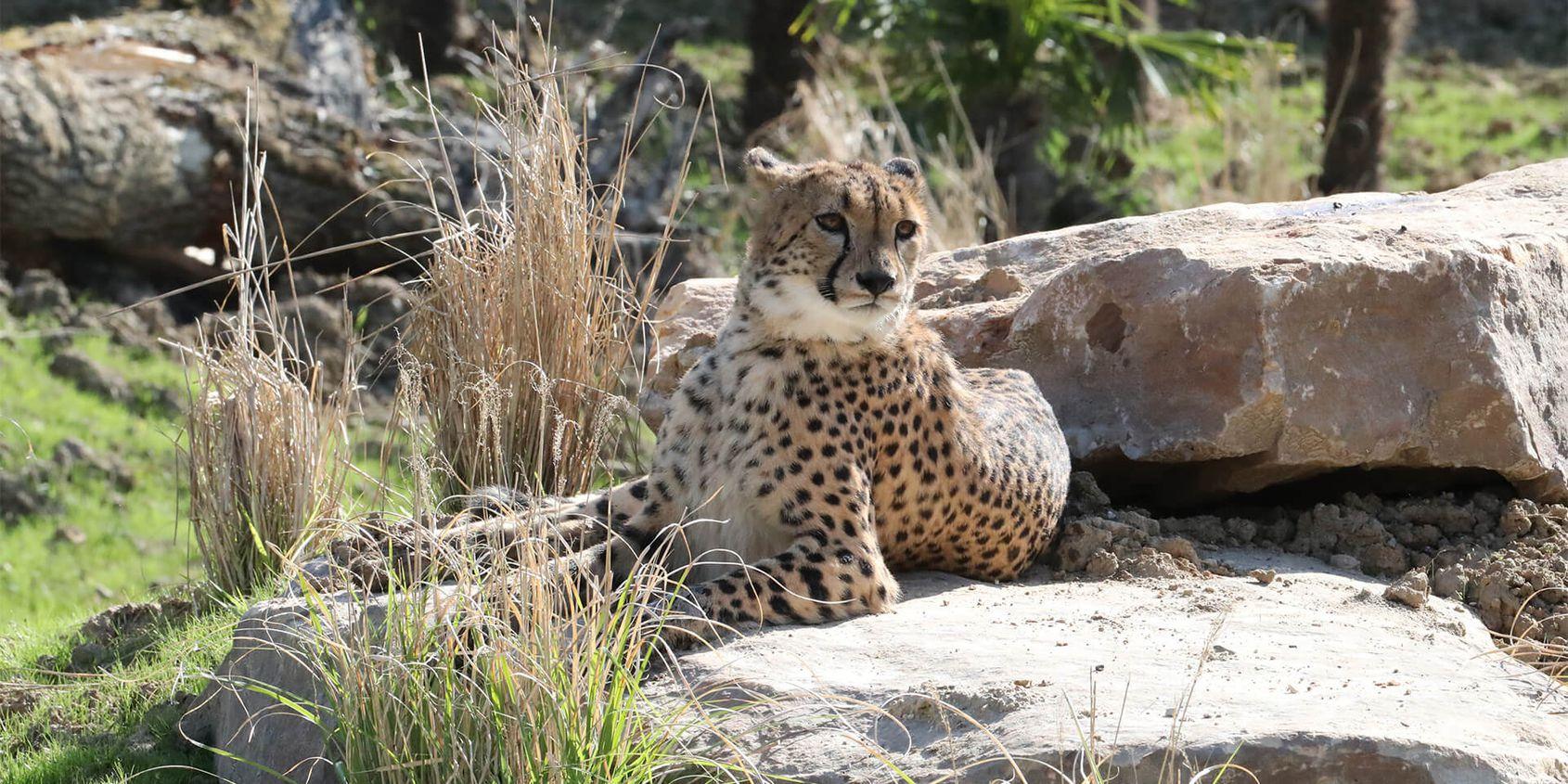 Guépard sur un rocher - Les animaux du Territoire des Guépards - ZooParc de Beauval