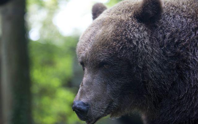 Ours brun - L'histoire du ZooParc