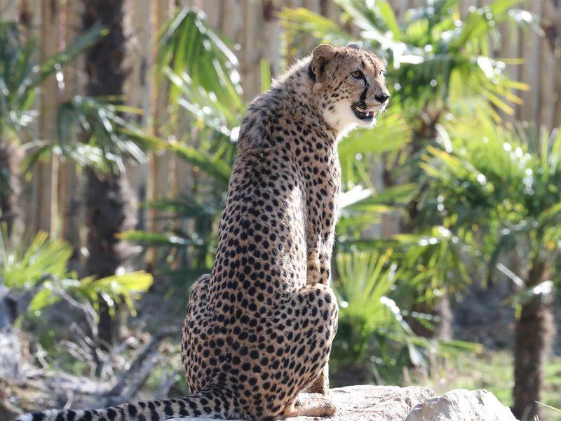 Guépard de dos - Beauval Nature - ZooParc de Beauval