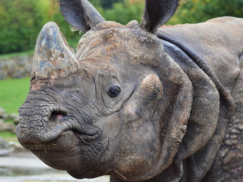 Portrait rhinocéros indien - Les animaux de La Plaine Asiatique - ZooParc de Beauval