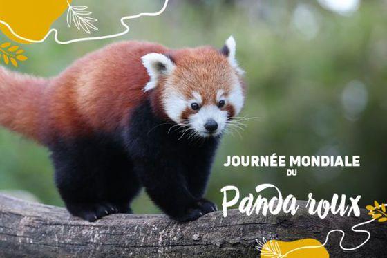 Les pandas roux à l'honneur en ce 18 septembre !