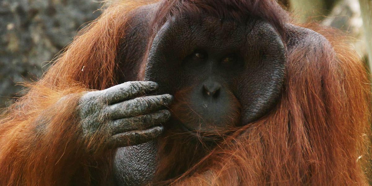 Mâle orang-outan - Les animaux de La Serre des Chimpanzés et Orangs-outans - ZooParc de Beauval