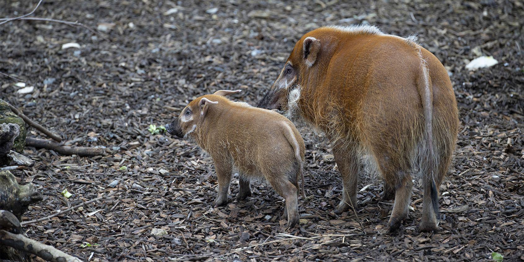 Potamochères - Les animaux de La Réserve des Hippopotames - ZooParc de Beauval