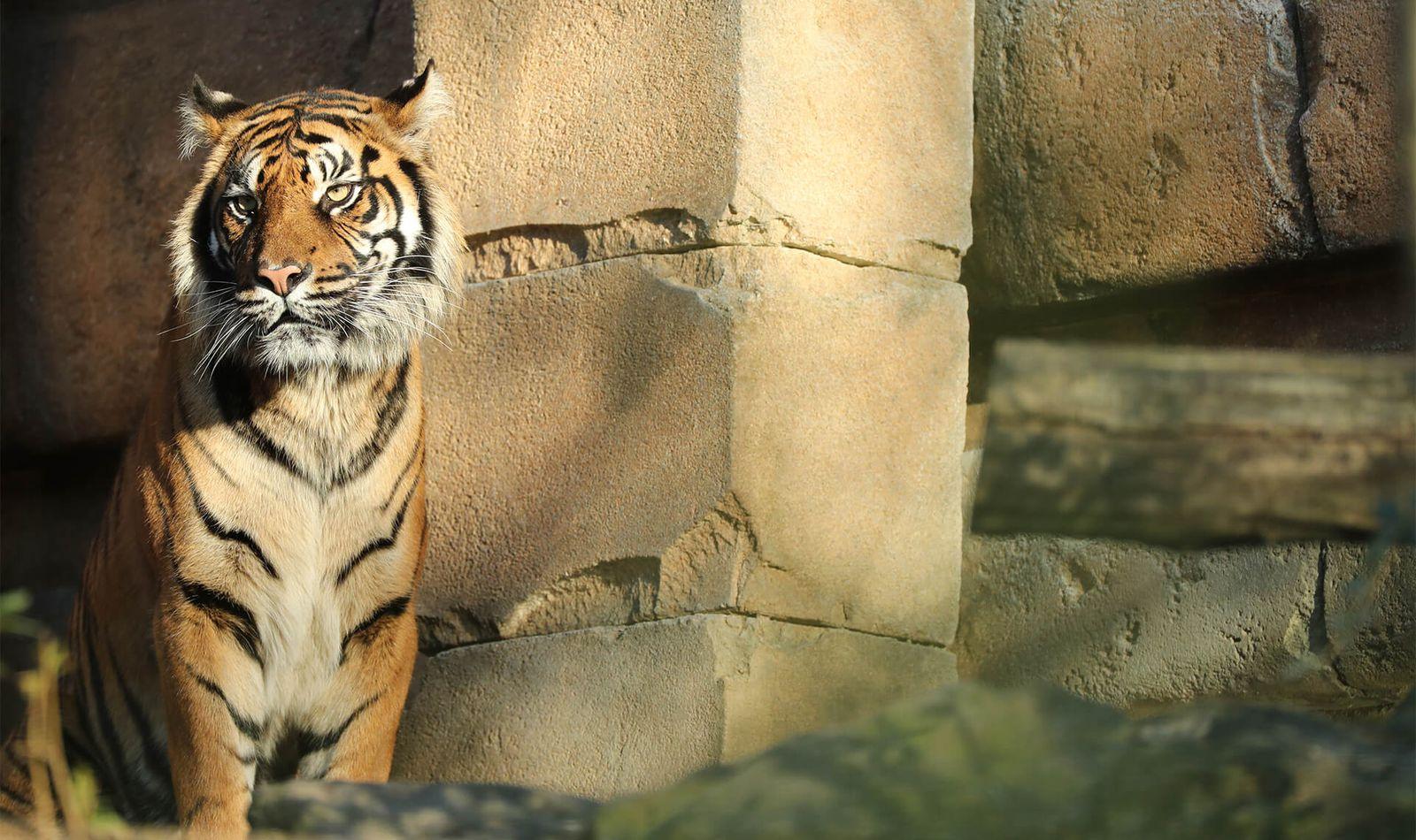Tigre de Sumatra - Animaux extraordinaires du ZooParc