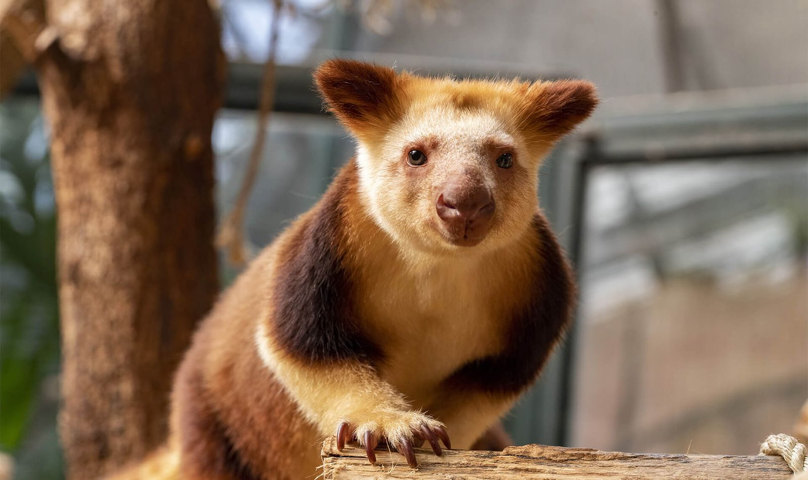 Dendrolague de Goodfellow - Offrir un cadeau à vos proches - ZooParc de Beauval