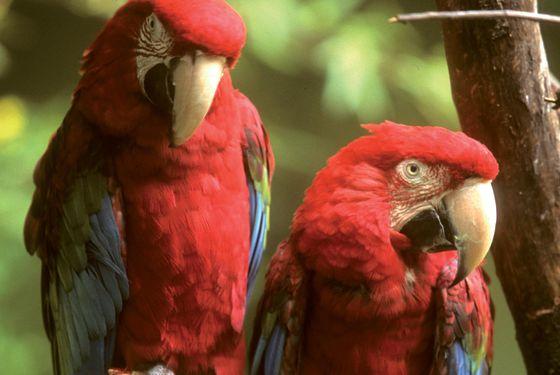 Ara chloroptère - Les animaux de La Rotonde des Perroquets - ZooParc de Beauval