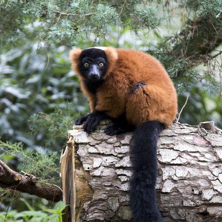 Foire à Questions - Vari roux - Venez visiter les animaux du ZooParc