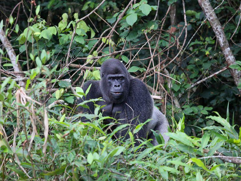 Gorille des plaines de l'Ouest dans la nature - Beauval Nature - ZooParc de Beauval