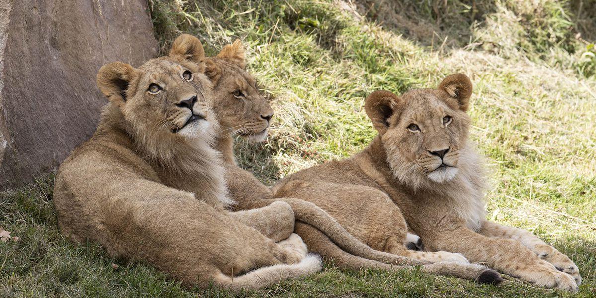 Lions d'Afrique - Les animaux de La Terre des Lions - ZooParc de Beauval