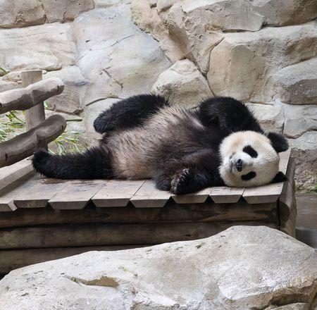 Naissance bébé panda en 2021 ? - ZooParc de Beauval