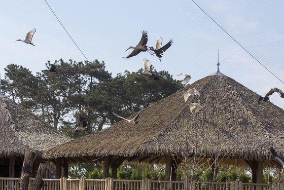 Oiseaux en vol - Les animaux de La Réserve des Hippopotames - ZooParc de Beauval