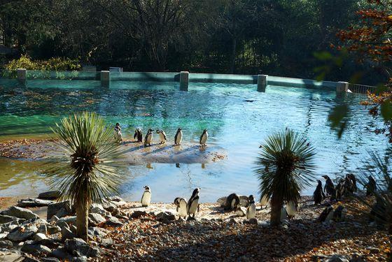 Bassin des manchots - Les animaux de L'Allée Historique - ZooParc de Beauval