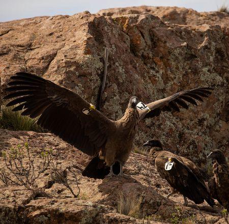 Relâché d'un condor des Andes en Argentine - Beauval Nature - ZooParc de Beauval