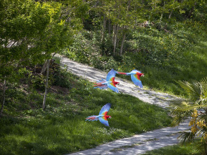 Vol des aras - Spectacle d'oiseaux - Les Maîtres des Airs