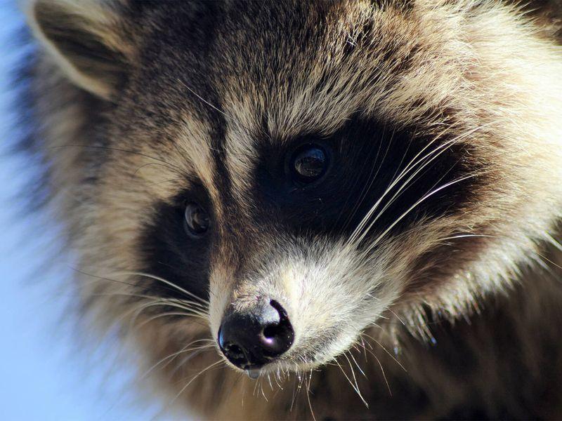 Raton laveur - Animaux extraordinaires du ZooParc