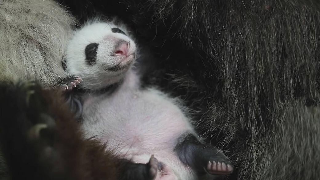 Jumelles panda ont 1 mois - Bébé panda - ZooParc de Beauval
