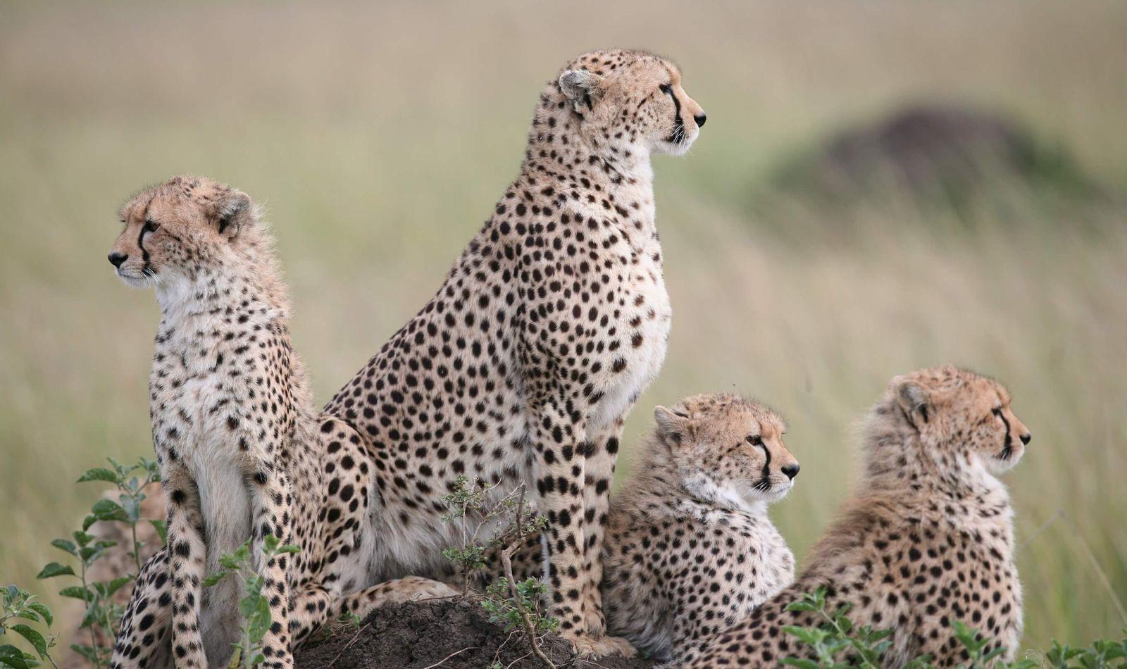 Soutenir nos actions - Guépards - ZooParc de Beauval