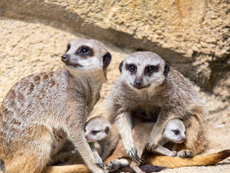 Suricates - Animaux extraordinaires du ZooParc