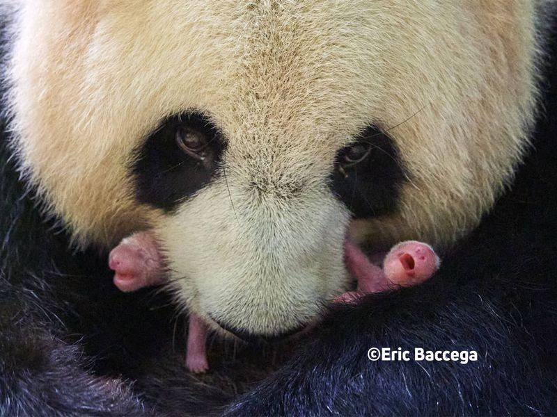 Naissance jumeaux pandas - ZooParc de Beauval