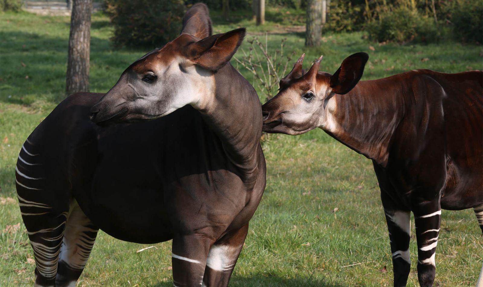 Okapis - Animaux extraordinaires du ZooParc