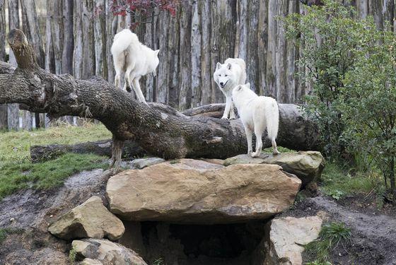 Loups arctiques et leur environnement - Les animaux du Territoire Nord-Américain - ZooParc de Beauval