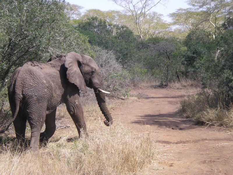 Éléphant et rangers au Kenya
