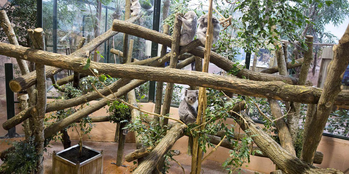 Intérieur de La Serre des Koalas - Territoire du ZooParc de Beauval