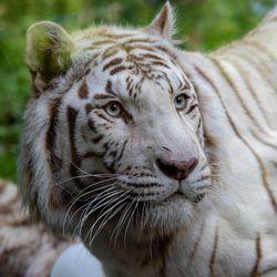 Tigre blanc - Animaux extraordinaires du ZooParc