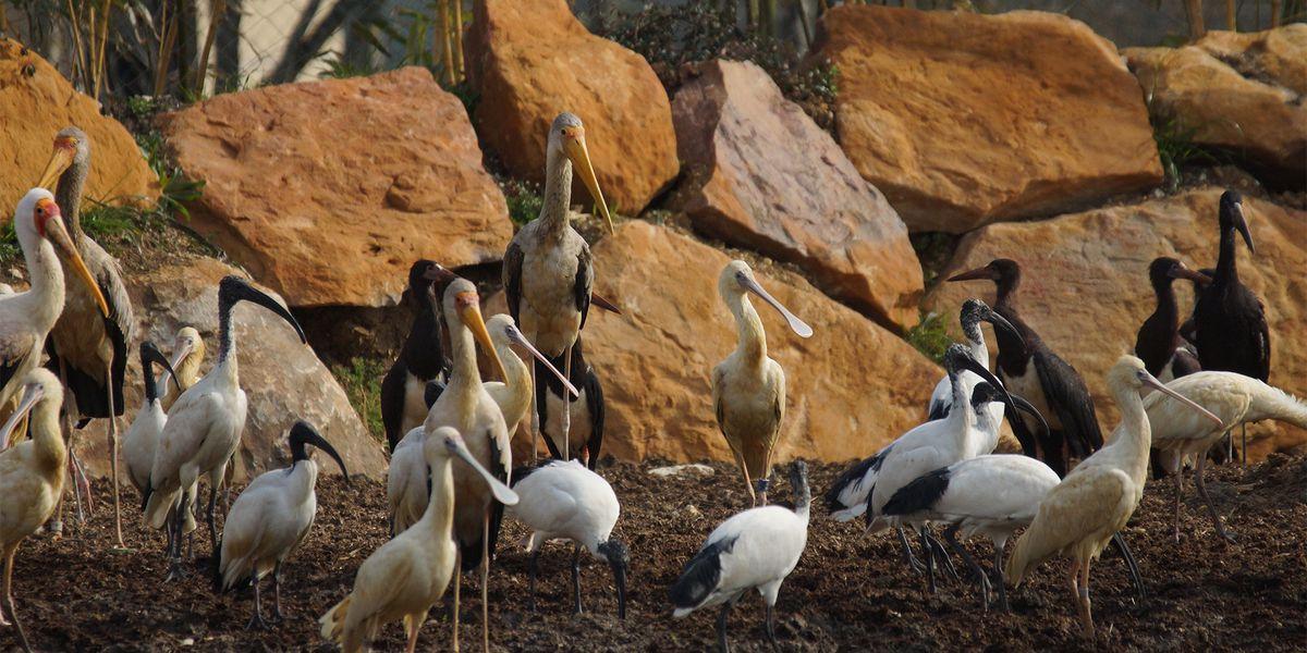 Oiseaux - Les animaux de La Réserve des Hippopotames - ZooParc de Beauval