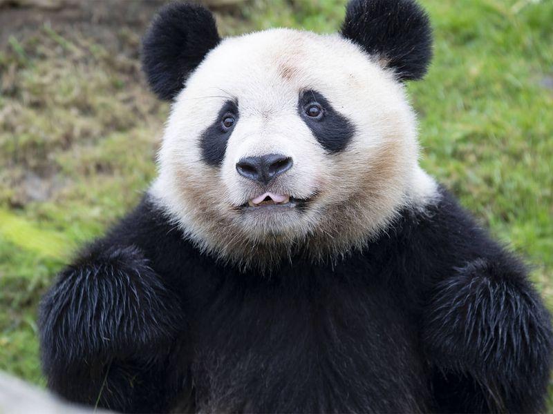 Yuan Meng - Premier bébé panda de France - ZooParc de Beauval