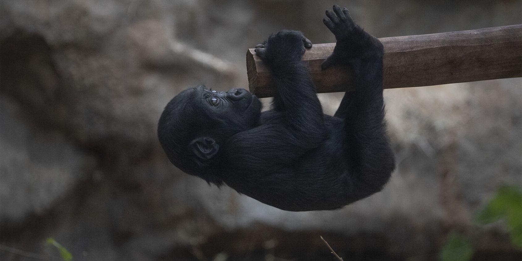 Bébé gorille - Les animaux de la Serre des Gorilles - ZooParc de Beauval