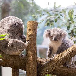 La Serre des Koalas - Territoire du ZooParc de Beauval