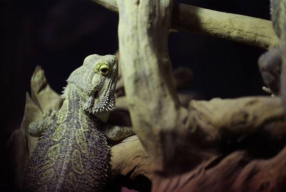 Pogona - Les animaux du Vivarium et Aquarium - ZooParc de Beauval