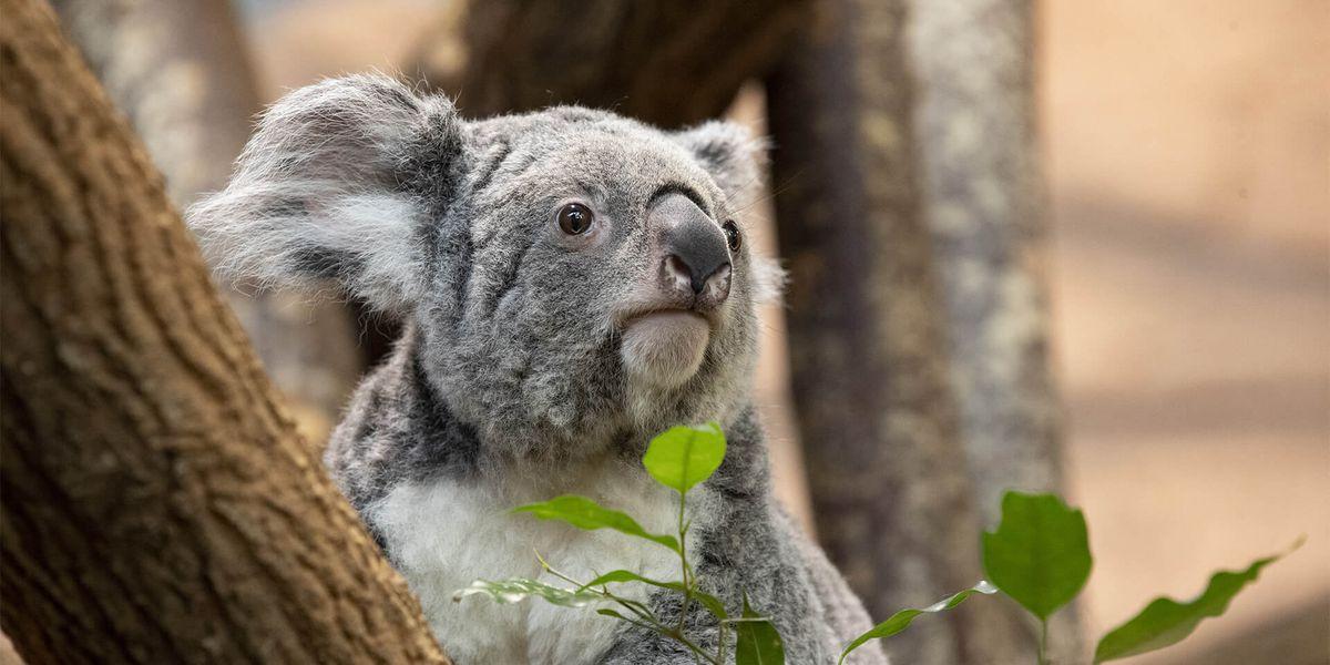 Koala - Les animaux de La Serre des Koalas - ZooParc de Beauval
