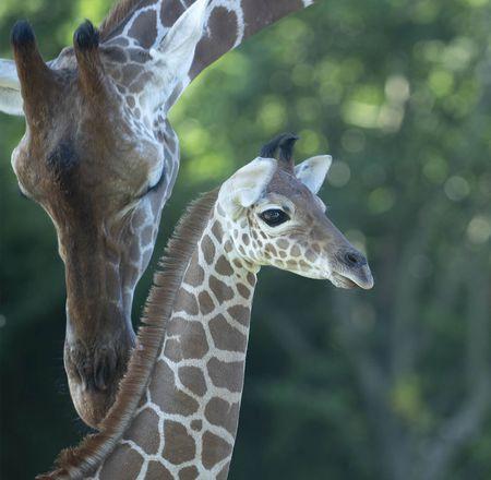Parrainage Melman - girafe - ZooParc de Beauval
