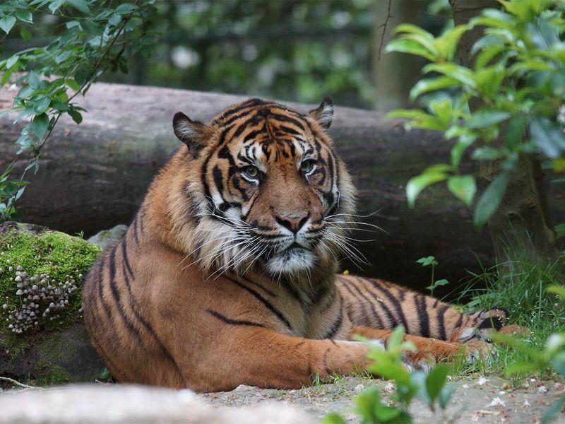 Asu, notre tigre de Sumatra - Les animaux du Bois des Fauves - ZooParc de Beauval
